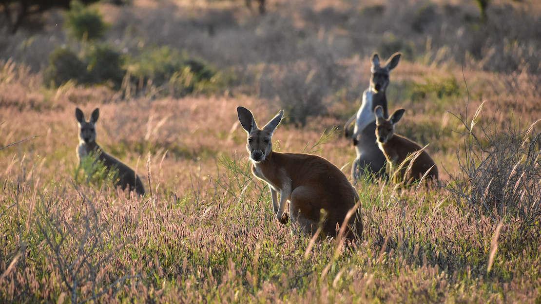 canguri_viaggio_australia